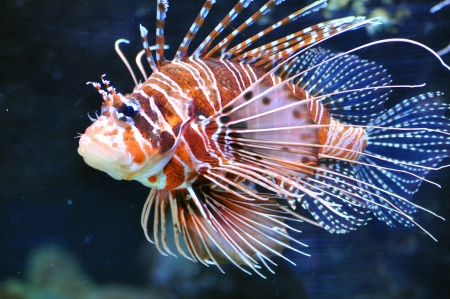 pappus: Lionfish Pteroinae, Pteroini