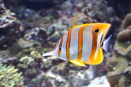 rostratus: Copper Strip Pinzettfisch Chelmon rostratus Stock Photo