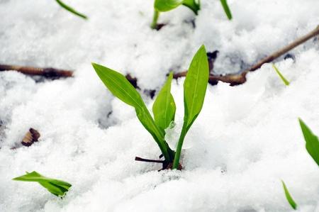 Fresh garlic in the snow, Allium Ursinum Stock Photo
