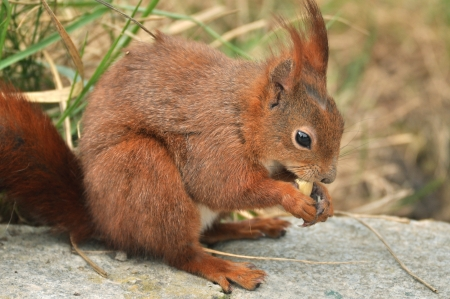 Red Squirrel Stock Photo - 19098640