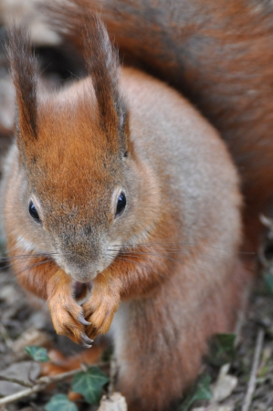 Red Squirrel Stock Photo - 19091046