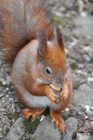 Red Squirrel Stock Photo - 19091047