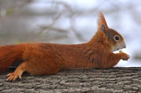 Red Squirrel Stock Photo - 19091060