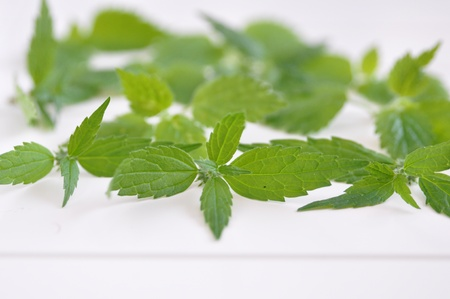 dioecious: Stinging nettle or common nettle, Urtica dioica