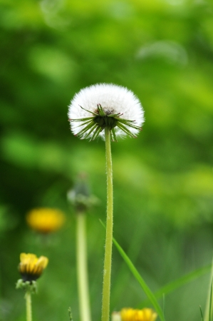 Dandelion photo