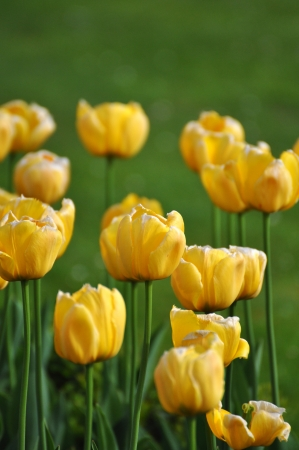 yellow tulip photo