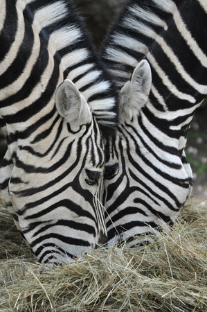 chris upton: Zebra Stock Photo