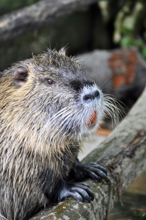 Nutria  Myocastor coypus  photo