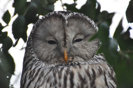 Ural owl photo