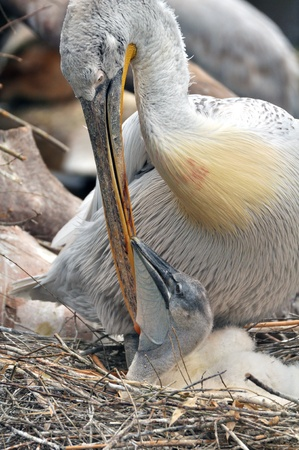 Pelican Baby with mother