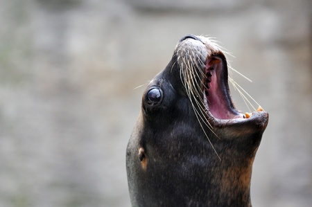rotten teeth: Sea Lion