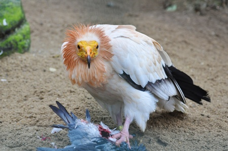 Vulture Bird photo