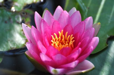 Water lily - lotus flower  photo