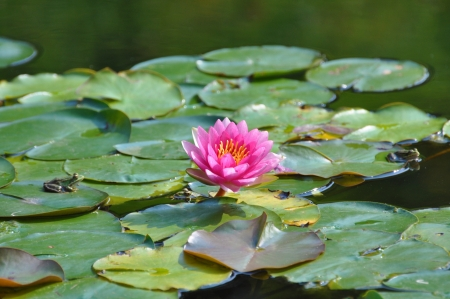 Water lily - lotus flower with frog photo