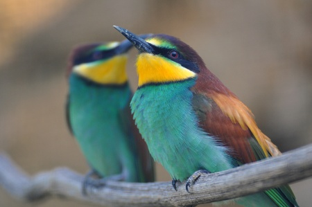 mating colors: Bee Eater