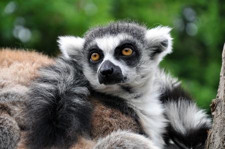 catta: Rind tailed Lemur - Lemur Catta