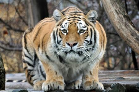 Siberian Tiger Standard-Bild - 19878468
