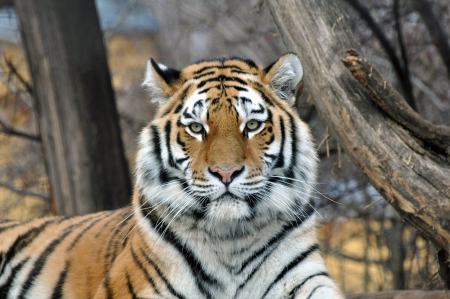 Siberian Tiger photo