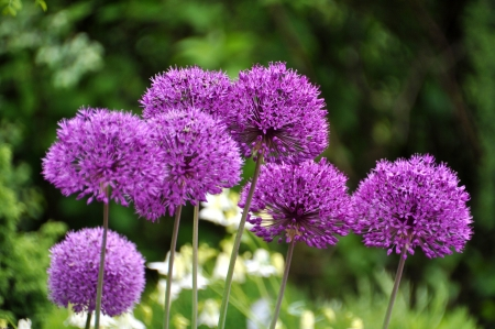 globular: Giant Onion  Allium Giganteum  blooming  Stock Photo