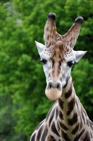 giraffa camelopardalis: giraffe  Giraffa camelopardalis  Stock Photo