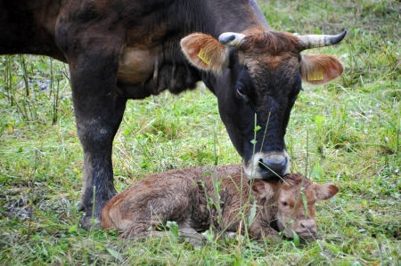 Cow with calf photo