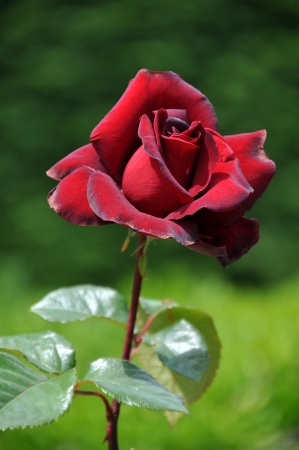 Single Rose photo