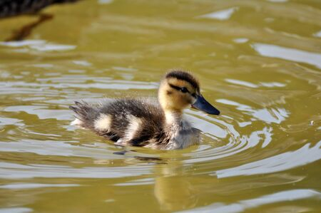 Duckling photo