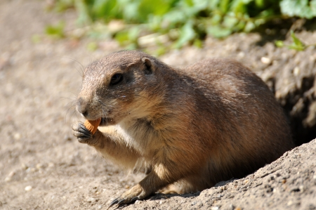 European Ground squirrel photo