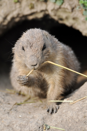 Prairie Dog photo