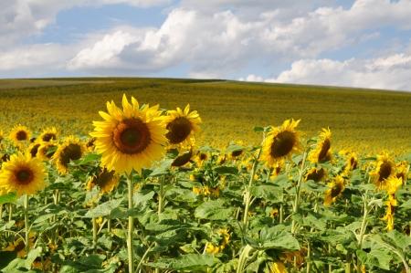 Feld von Sonnenblumen Standard-Bild - 21514242