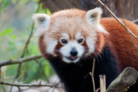catlike: Red Panda Stock Photo