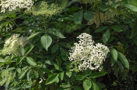 Elder or Elderberry or Black elder or European elder flowering plant. Sambucus (Adoxaceae family) flowers