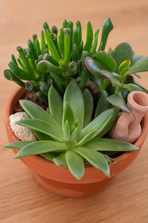 Echeveria sedum succulent cactus Stock Photo