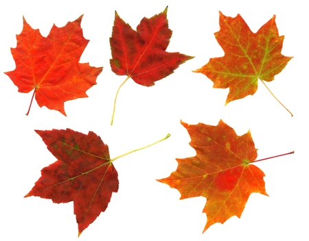 Colorful autumn leaves isolated on a white background.