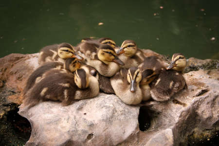 Ducklings snuggling on a rock. Stock Photo