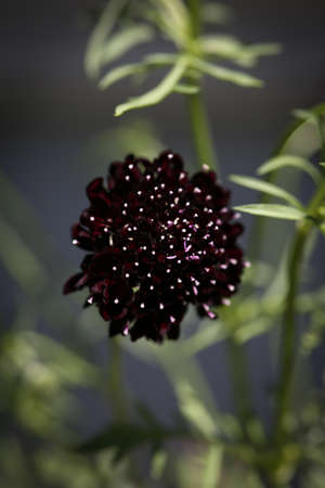 Close up of a black scabiosa pincushion flower.