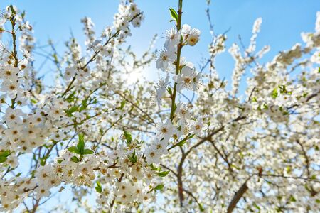 White flowers on the branches of an apple tree on a background of blue sky and sun on a sunny day Standard-Bild