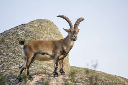 wild goat: Cabra salvaje en la cima de una roca, capra ibex