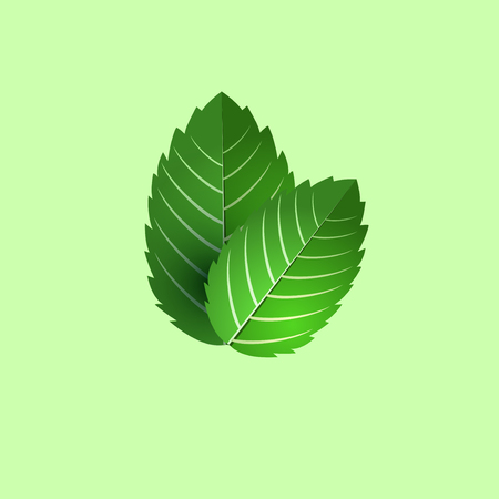 menta: hojas de menta fresca. manojo de menta objeto vectorial. aislado hoja de menta verde. Coctel de la menta. menta para cocinar.