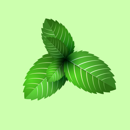 mint leaf: leaf of fresh mint. bunch of mint vector object. Green mint leaf isolated. mint cocktail. mint for cooking. Illustration