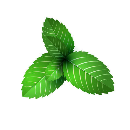 leaf of fresh mint. bunch of mint vector object. Green mint leaf isolated. mint cocktail. mint for cooking.  イラスト・ベクター素材