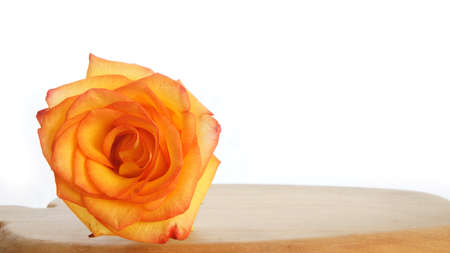 orange rose: Lonely orange rose on wooden table on white background