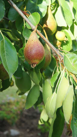 Pear -Scientific name: Pyrus communis- hanging from the branch of a tree with green leaves background Stock Photo