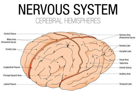 hemispheres: NERVOUS SYSTEM - CEREBRAL HEMISPHERES with parts name - Vector image