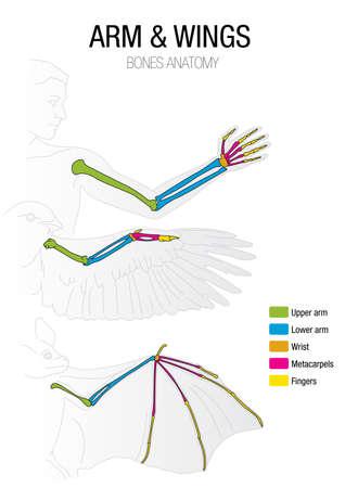 バット、鳥と人の骨の比較  イラスト・ベクター素材