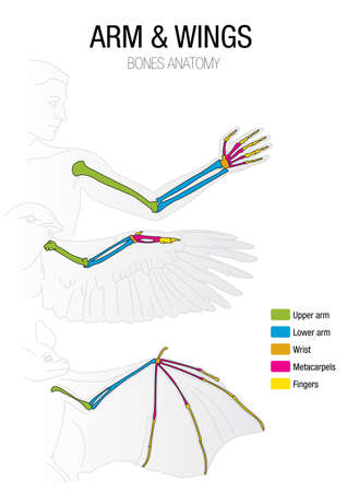 Comparison of the bones of the bat, bird and man Stok Fotoğraf - 70014757