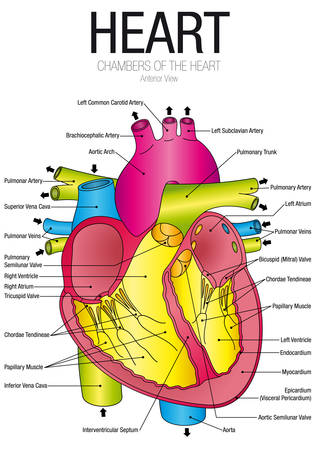 Chart of HEART Anterior view with parts name - Vector image Illustration