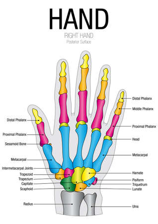 posterior: Chart of HAND Posterior Surface with parts name - Vector image Illustration
