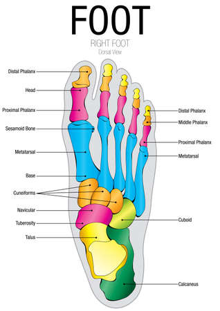 Chart Of FOOT Dorsal View With Parts Name - Vector Image Royalty ...