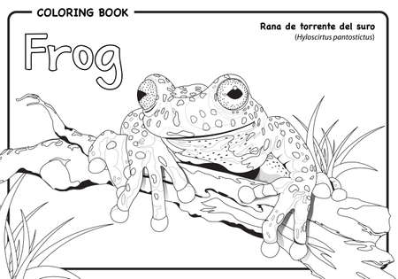 Frog (Hyloscirtus pantostictus) on white background - Coloring book